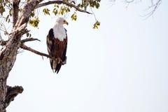 Rybi Eagle, Chobe - N P Botswana, Afryka Obraz Stock