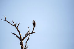 Rybi Eagle, Chobe - N P Botswana, Afryka Zdjęcie Royalty Free