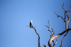Rybi Eagle, Chobe - N P Botswana, Afryka Obrazy Royalty Free