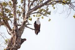 Rybi Eagle, Chobe - N P Botswana, Afryka Obrazy Stock