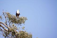 Rybi Eagle Ogląda Out od wysokości w drzewie Obraz Royalty Free