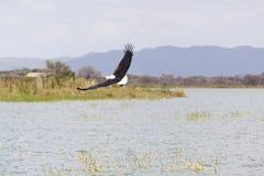 Rybi Eagle przy Jeziornym Baringo, Kenja Obraz Royalty Free
