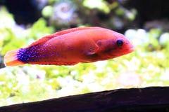 rybi egzota morze Zdjęcie Royalty Free