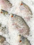 rybi gigantyczny goramy Obrazy Stock