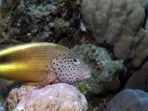 rybi jastrząb Zdjęcie Stock
