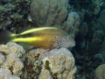 rybi jastrząb Obraz Royalty Free