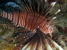 rybi kajmanu lew Zdjęcie Royalty Free