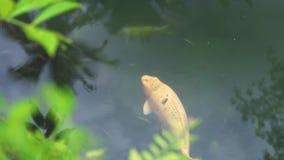 Rybi karpiowy koi dop?yni?cie w przejrzystej wodzie w ogrodowym stawie Zamyka w górę japońskiego karpiowego koi dopłynięcia w dek zbiory