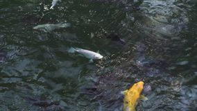 Rybi karpiowy koi dop?yni?cie w przejrzystej wodzie w ogrodowym stawie Zamyka w górę japońskiego karpiowego koi dopłynięcia w dek zbiory wideo