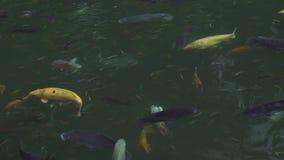 Rybi karpiowy koi dop?yni?cie w przejrzystej wodzie w ogrodowym stawie Zamyka w górę japońskiego karpiowego koi dopłynięcia w dek zdjęcie wideo