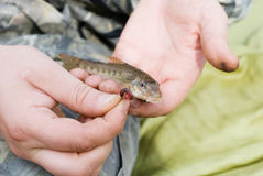 rybi kiełb Zdjęcie Royalty Free
