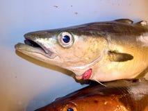Rybi kościec w plastikowej skrzynce Kościec dorsz ryba po usuwać polędwicowego obrazy royalty free