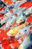 rybi koi Obraz Stock