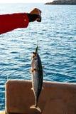Rybi krzemu popas zdjęcie royalty free