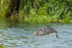 rybi latanie Zdjęcie Stock