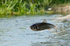 rybi latanie Obraz Stock