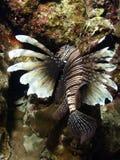 rybi lew Zdjęcia Royalty Free