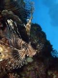 rybi lew Obrazy Royalty Free