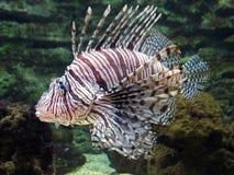 rybi lew Obrazy Stock