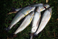 Rybi lipień Zdjęcie Stock