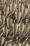 Rybi lying on the beach na sieciach, wysuszonych w słońcu na plaży w Nazare, Po zdjęcia royalty free