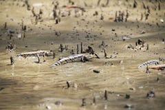 Rybi mudskipper przychodził za brzeg na zdjęcia stock