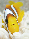 rybi nemo Obraz Royalty Free