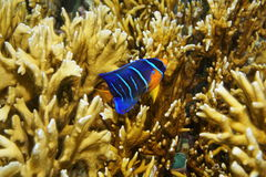 Rybi nieletni królowej angelfish Holacanthus ciliaris Fotografia Stock