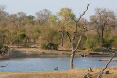 Rybi orzeł siedzi w nieżywym drzewnym pobliskim waterhole w Africa Obraz Stock