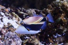 Rybi Picasso Triggerfish Zdjęcie Stock