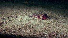 Rybi pipistrelle Ogcocephalus Darwini nietoperz podwodny na dnie morskim ocean zbiory wideo