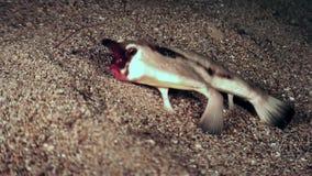 Rybi pipistrelle Ogcocephalus Darwini nietoperz podwodny na dnie morskim ocean zdjęcie wideo