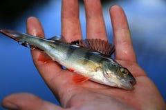 Rybi popas obrazy stock