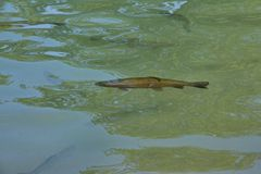 Rybi pstrąg w naturalnym siedlisku obraz stock