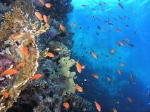 rybi rafowy tłum Obraz Royalty Free