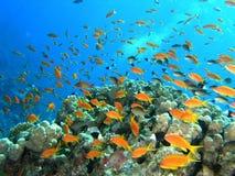 rybi rafowy tłum Obrazy Stock