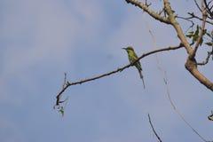 Rybi Rockowy zimorodka chwyta ryby ptaka ryby ptaka pobyt na drzewnym nieba błękita tle zdjęcia stock