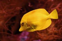 rybi saltwater blaszecznicy kolor żółty Obrazy Stock