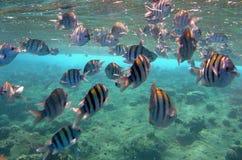 rybi sergent Obrazy Royalty Free