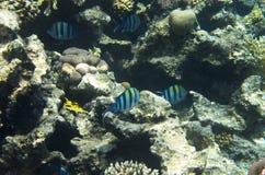 Rybi sierżanci w koralu obrazy royalty free
