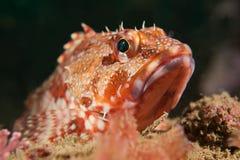 rybi skorpion Obrazy Stock