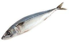 rybi skumbriowy surowy Zdjęcie Stock