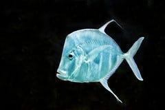 Rybi Srebny Moonfish, Selene vomer Obrazy Royalty Free