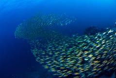 Rybi stado Pod błękitnym morzem fotografia stock