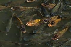 rybi staw Zdjęcia Royalty Free