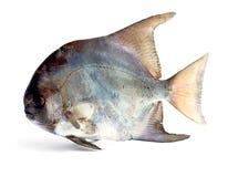 rybi tropikalny Zdjęcie Stock