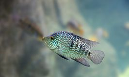 rybi tropikalny Obrazy Stock