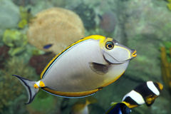 rybi tropikalny Zdjęcie Royalty Free