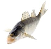 rybi walleye zdjęcia stock