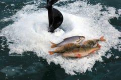 Rybi wp8lywy na lodzie przy zimą Baikal Zdjęcia Royalty Free